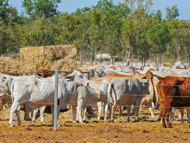 Flocken av australiskt brahmannötköttnötkreatur rymms på en nötkreaturgård, innan du exporteras arkivbild