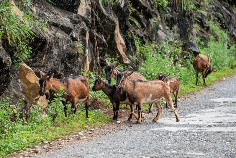 Flocken av den bruna geten betar gräs i dalen fotografering för bildbyråer