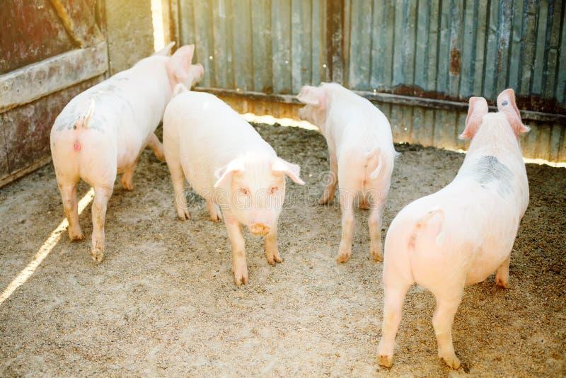 Flocken av den unga spädgrisen på hö och sugrör på svinavel brukar Åkerbruk och boskapproduktion royaltyfri foto