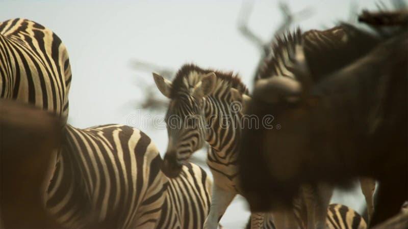 Flocken av djur företa sig långa resor i sökande av vatten Flyttning av djur i den afrikanska savannahen arkivfoton