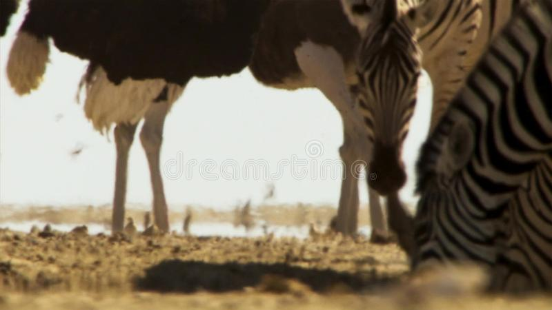 Flocken av djur företa sig långa resor i sökande av vatten Flyttning av djur i den afrikanska savannahen arkivbilder