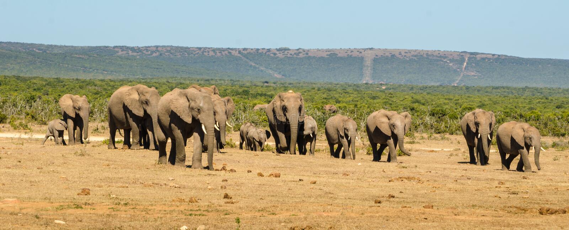 Flocken av elefantAddo elefanter parkerar, den Sydafrika djurlivphotoghraphyen royaltyfri bild