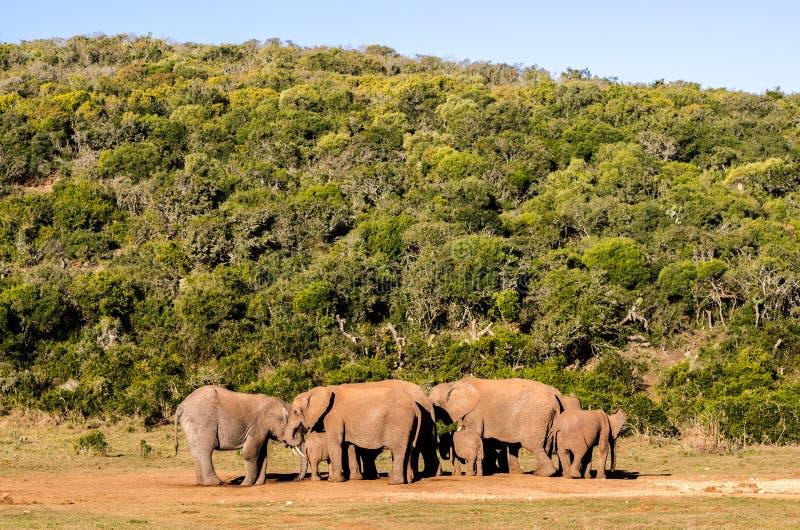Flocken av elefantAddo elefanter parkerar, den Sydafrika djurlivphotoghraphyen royaltyfria bilder