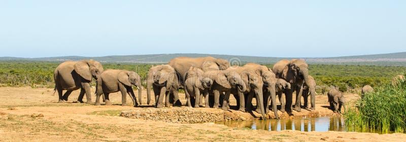 Flocken av elefantdricksvattenAddo elefanter parkerar, den Sydafrika djurlivphotoghraphyen royaltyfri foto