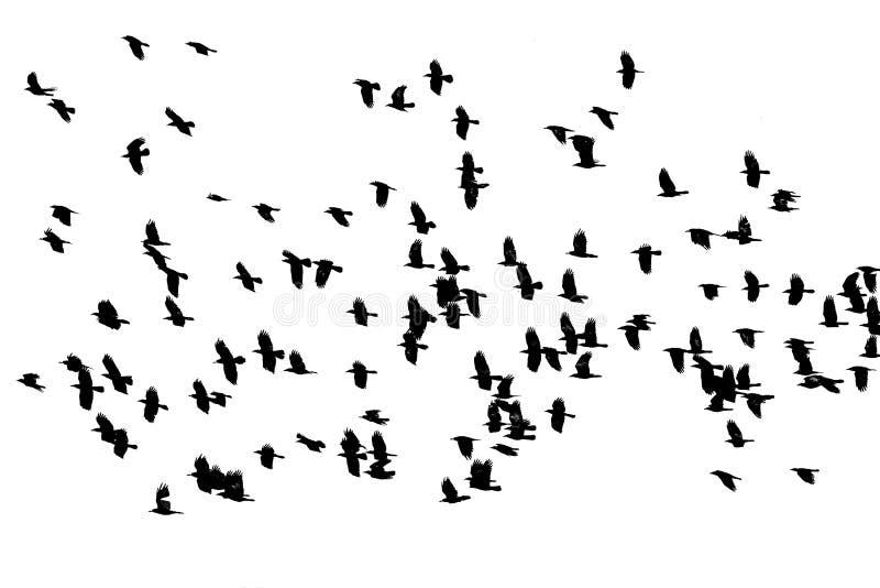 Flocken av fågelsvart gal flyg på den vita bakgrundsisolaen royaltyfri bild
