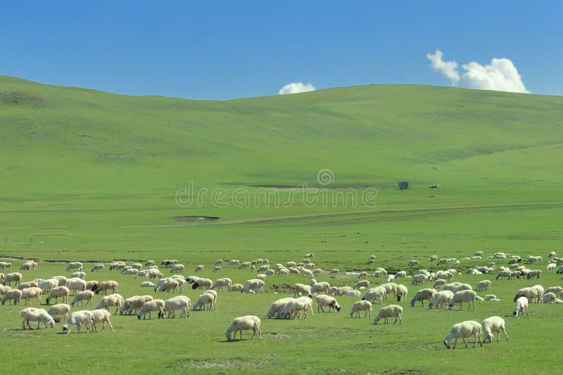 Flocken av får på den Hulun Buir grässlätten arkivbild