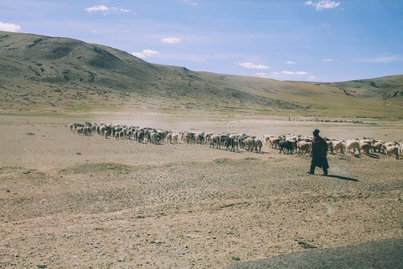 flocken av får som betar på, betar i steniga berg, indier arkivbild