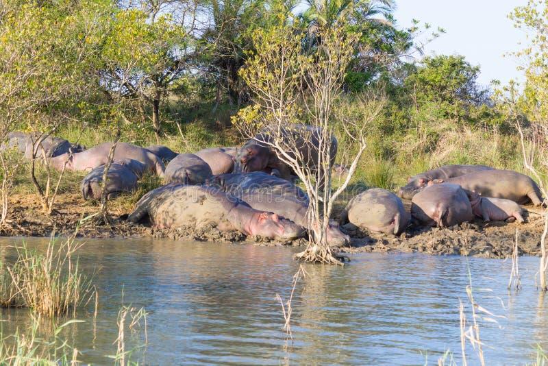 Flocken av flodhästar som sover, Isimangaliso våtmark, parkerar, Sydafrika royaltyfri bild