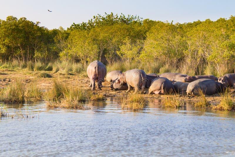 Flocken av flodhästar som sover, Isimangaliso våtmark, parkerar, Sydafrika royaltyfria bilder