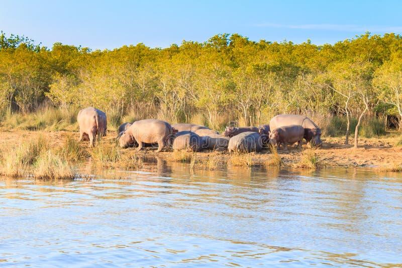 Flocken av flodhästar som sover, Isimangaliso våtmark, parkerar, Sydafrika royaltyfri fotografi