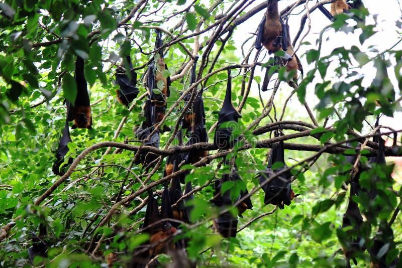 Flocken av hängning för slagträPteropuslylei på trädet på Wat Pho, Chaserngsao, Thailand royaltyfri fotografi