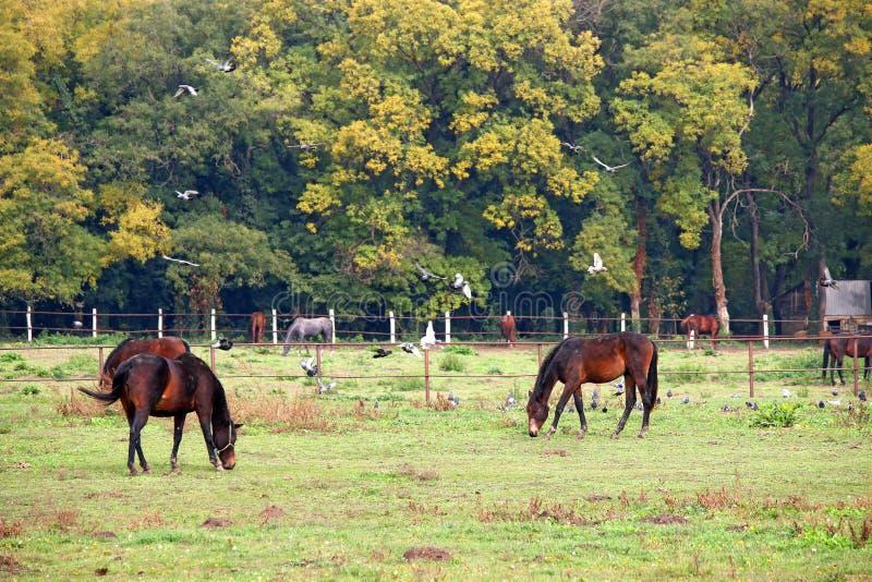 Flocken av hästar betar på royaltyfria foton
