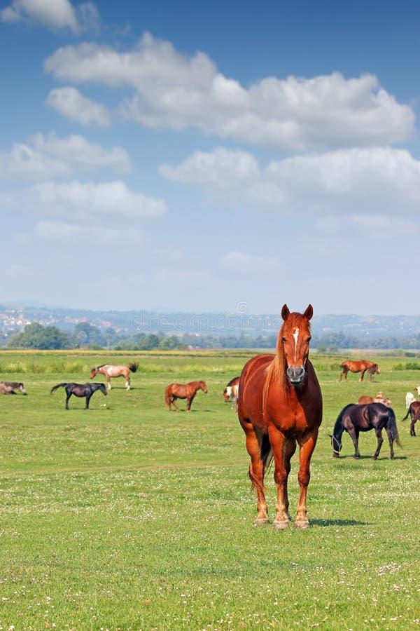 Flocken av hästar betar in våren royaltyfri fotografi