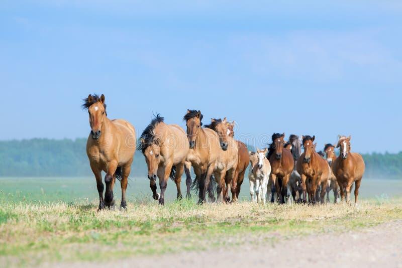 Flocken av hästar och föl kör betar in arkivfoton