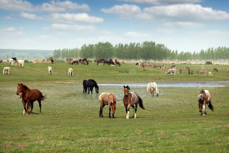 Flocken av hästar på betar royaltyfri bild