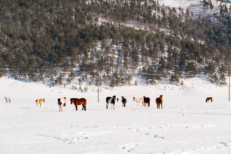 Flocken av hästar som betar på en vinter, betar royaltyfri bild