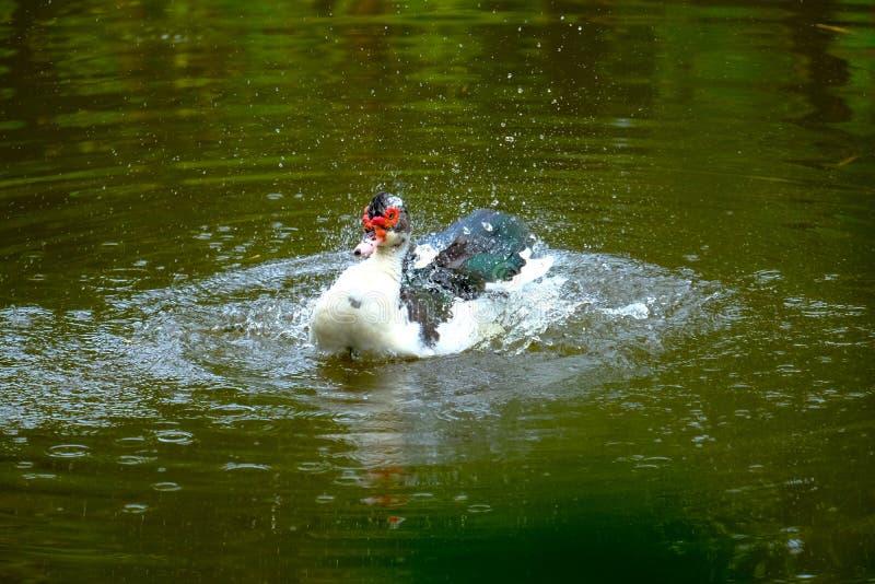 Flocken av hemhjälpen duckar simning i avkrokarna arkivfoton