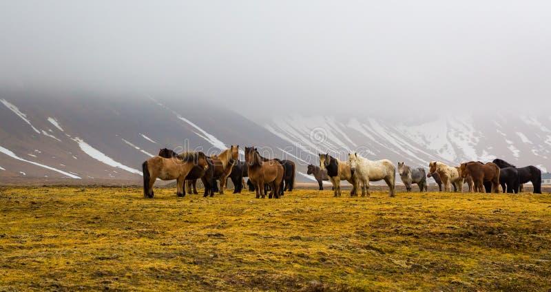 Flocken av isländska hästar springa omkring i vilt tillstånd i ängarna i mitt av wi royaltyfri bild