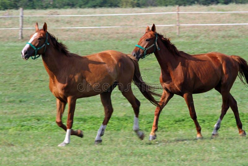 Flocken av kastanjebruna hästar som galopperar på grön äng royaltyfri foto