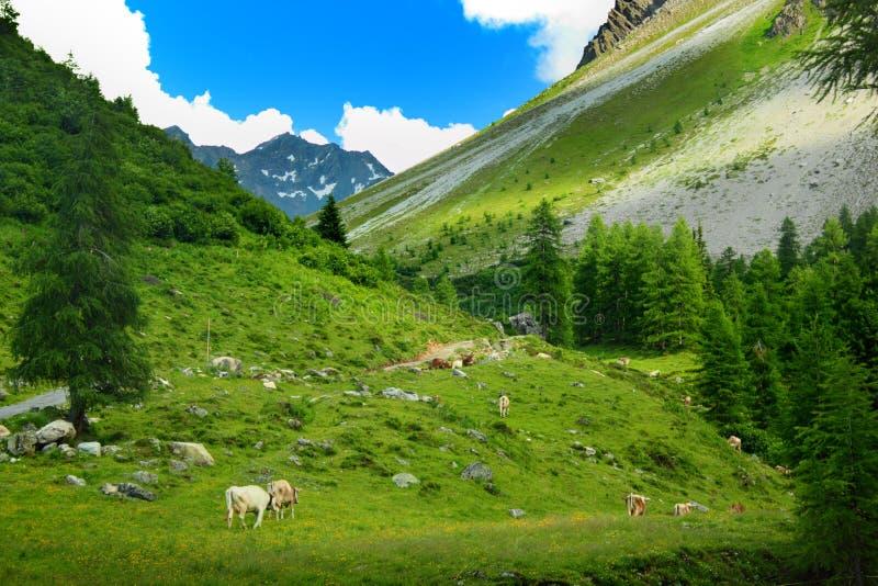 Flocken av kor i berg landskap royaltyfria foton