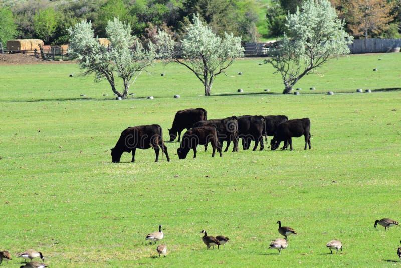 Flocken av kor och snattrar av kanadensisk gässBrantacanadensis som tillsammans betar och pickar i harmoni i en lantlig lantgård  royaltyfri bild