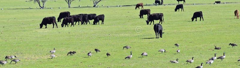 Flocken av kor och snattrar av kanadensisk gässBrantacanadensis som tillsammans betar och pickar i harmoni i en lantlig lantgård  arkivfoto
