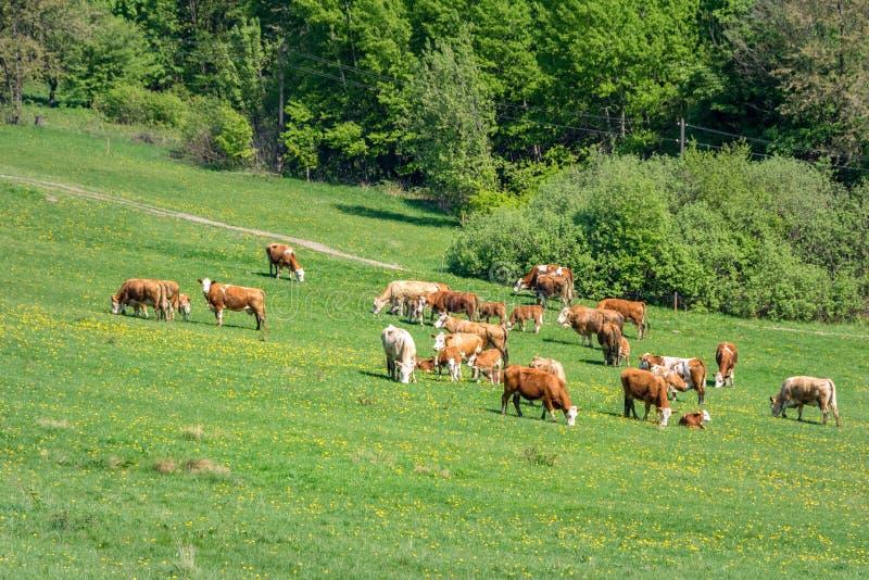 Flocken av kor på den gröna våren betar royaltyfria foton