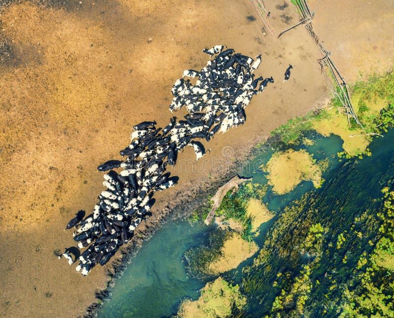 Flocken av kor på en brunnsort royaltyfri bild