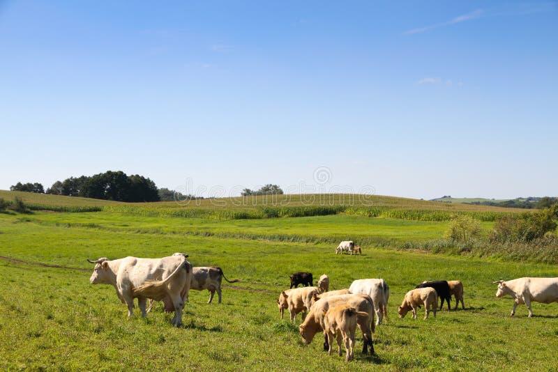 Flocken av kor som betar i ett grönt nytt, betar fältet med blommor i idyllisk bygdnötkreaturplats under våren och sommar arkivbild