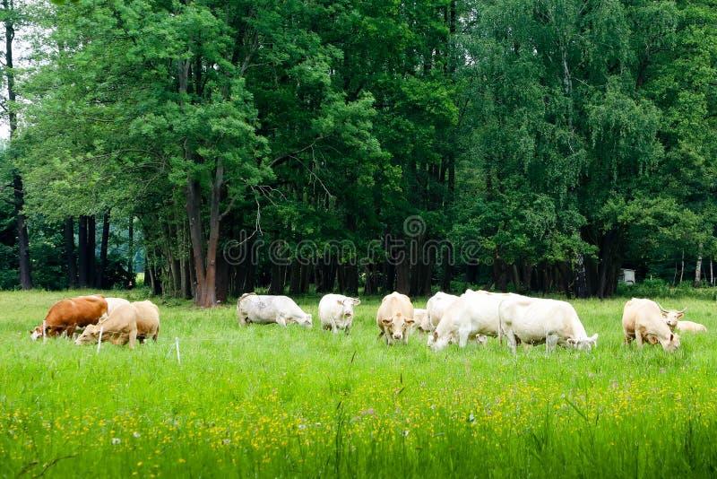 Flocken av kor som betar i ett grönt nytt, betar fältet med träd och blommor i idyllisk bygdnötkreaturplats arkivbild