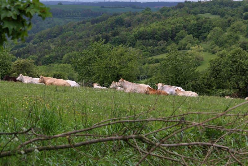 Flocken av kor som vilar p?, betar i sommar royaltyfri foto