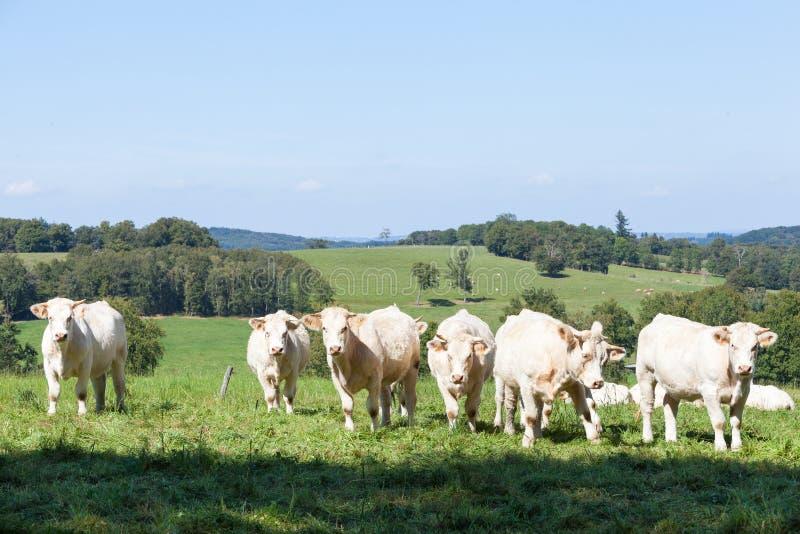 Flocken av nyfiket vitt Charolaisnötköttnötkreatur i en bergstopp betar royaltyfri fotografi