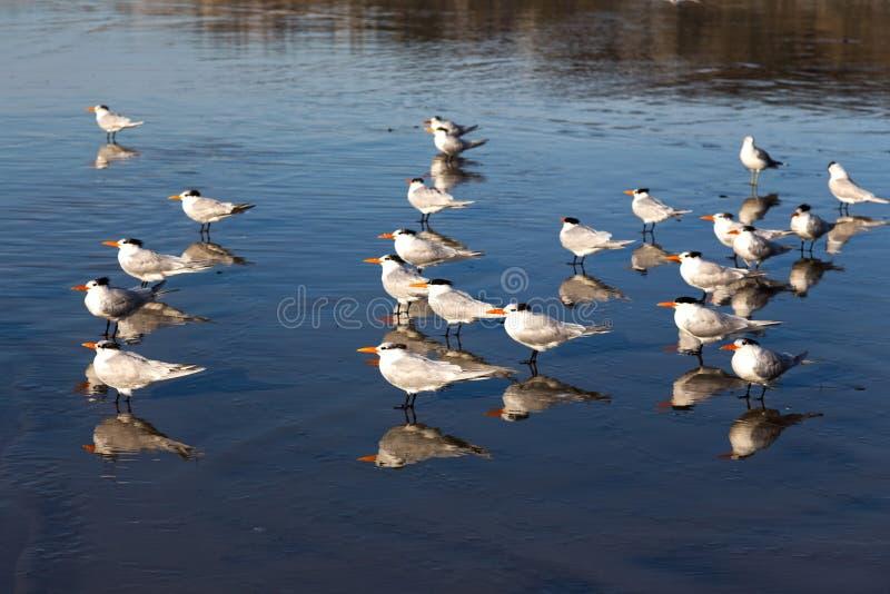 Flocken av Seagullfåglar som står i lågvatten på La Jolla kuster, sätter på land nära det Scripps institutet royaltyfria foton