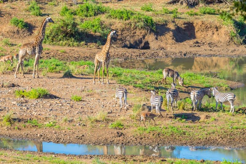 Flocken av sebror, giraff och antilop som betar på den Shingwedzi flodstranden i den Kruger nationalparken, ha som huvudämne lopp royaltyfri foto