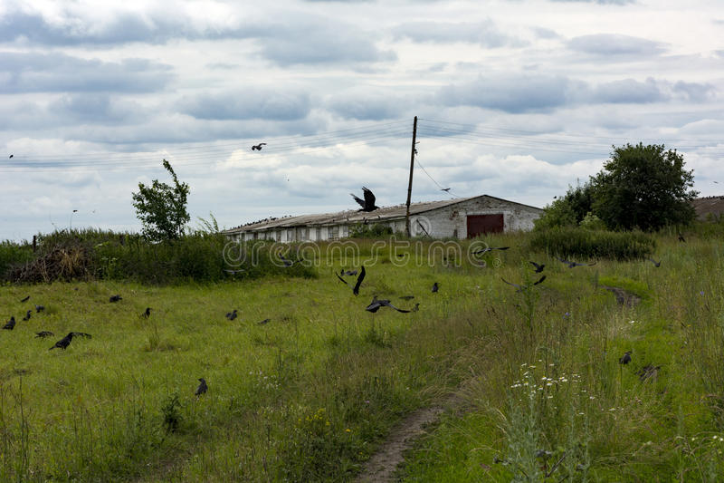 Flocken av svarta fåglar flyger över ängen och grusvägen, countr royaltyfri fotografi