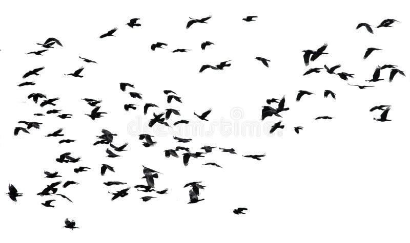 Flocken av svarta fåglar gal flyg på en isolerad vit backgroun royaltyfri bild