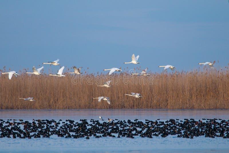 Flocken av Swans i flyg över Coots flockas royaltyfria foton