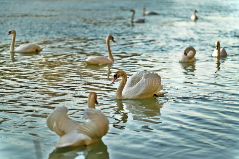 Flocken av vita svanar som simmar på sjön, en fokuserade royaltyfria bilder