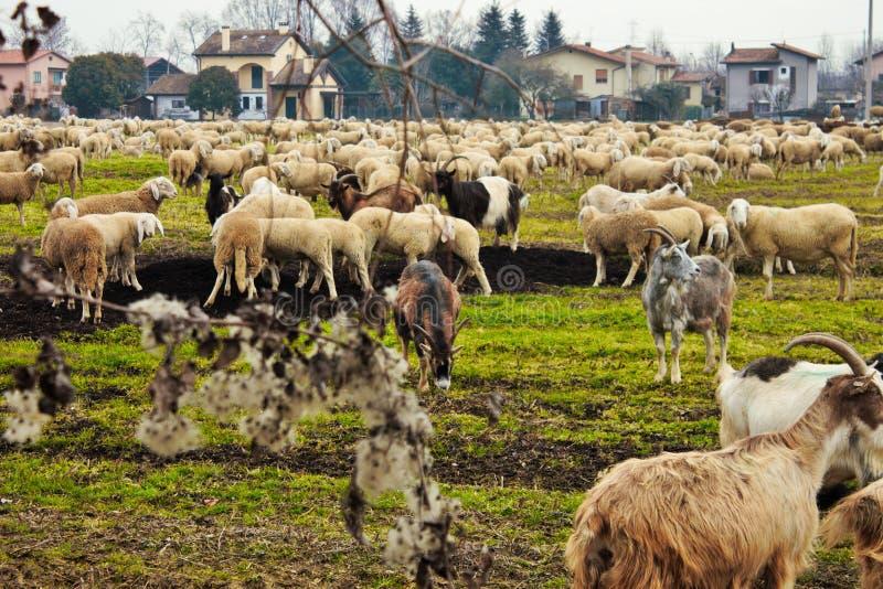 flocken i dalen, får och getter flyttas från ett område till ett annat igenom tömt land royaltyfri fotografi