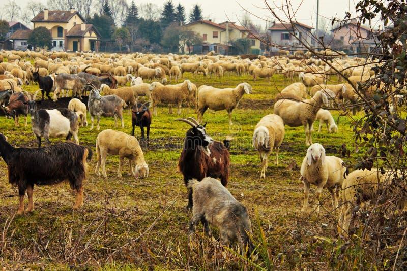 flocken i dalen, får och getter flyttas från ett område till ett annat igenom tömt land arkivfoto