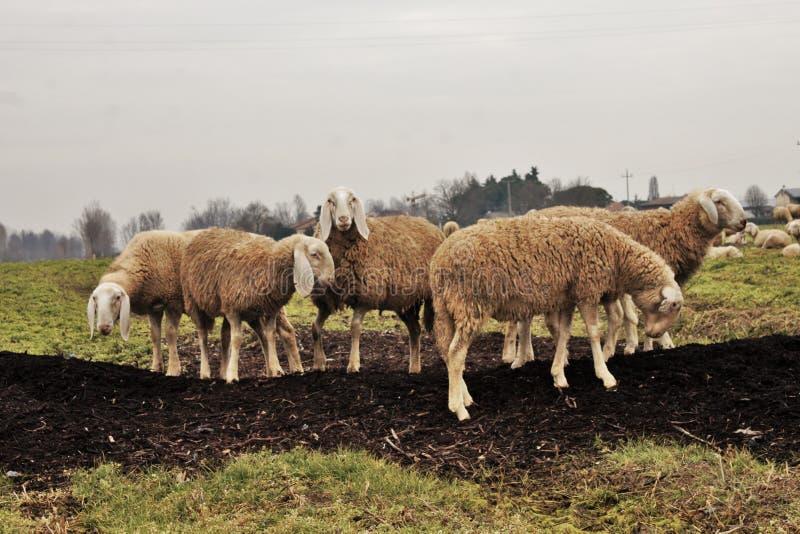 flocken i dalen, får och getter flyttas från ett område till ett annat igenom tömt land royaltyfria bilder