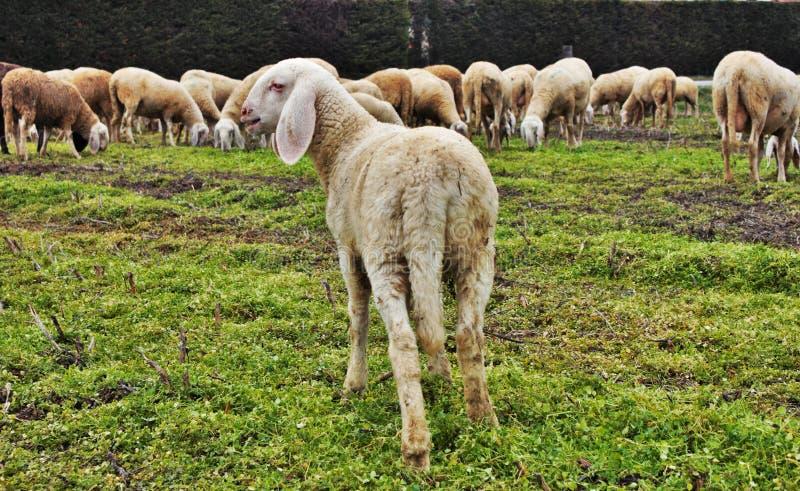 flocken i dalen, får och getter flyttas från ett område till ett annat igenom tömt land arkivbild