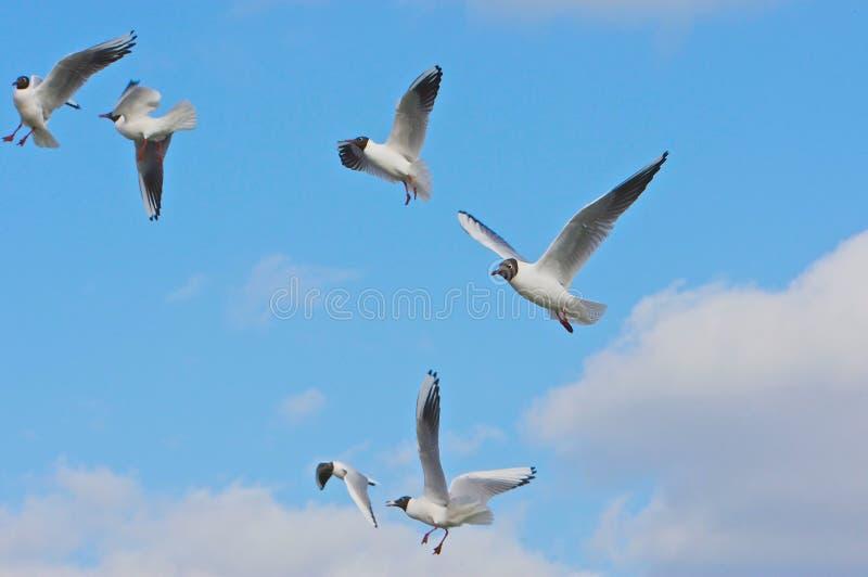 flockfiskmåsar arkivbild