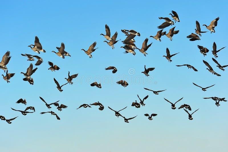 flockflyggäss royaltyfri bild