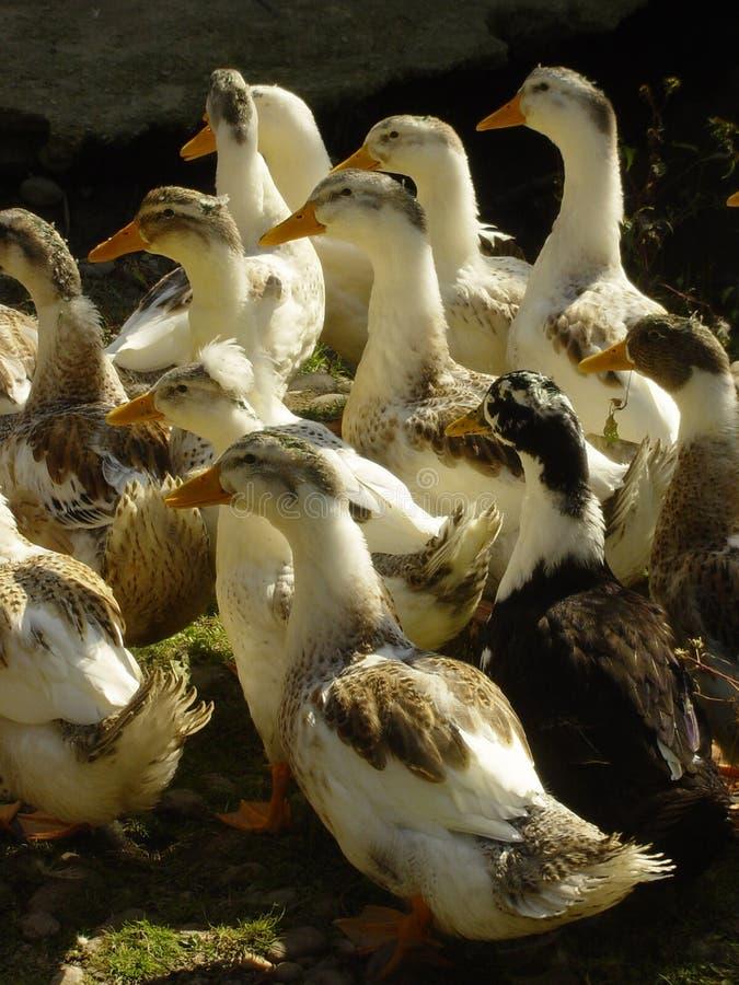 Download Flockgäss arkivfoto. Bild av harem, änder, hangås, cohort - 36000