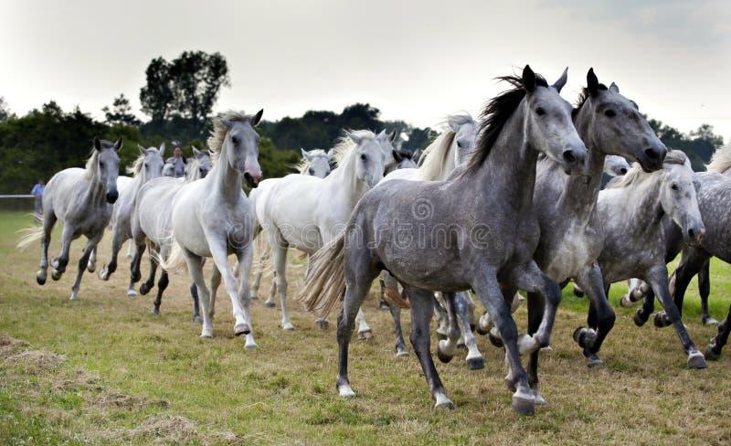 flockhästar arkivbild