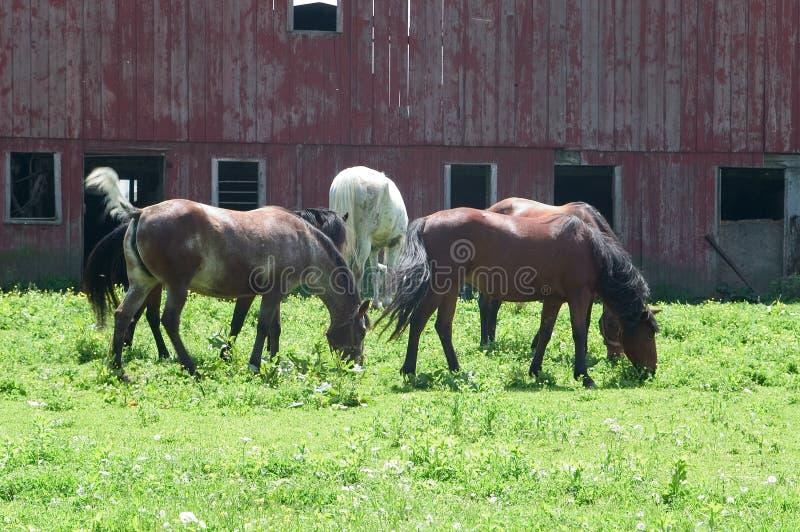 Flockhästar betar