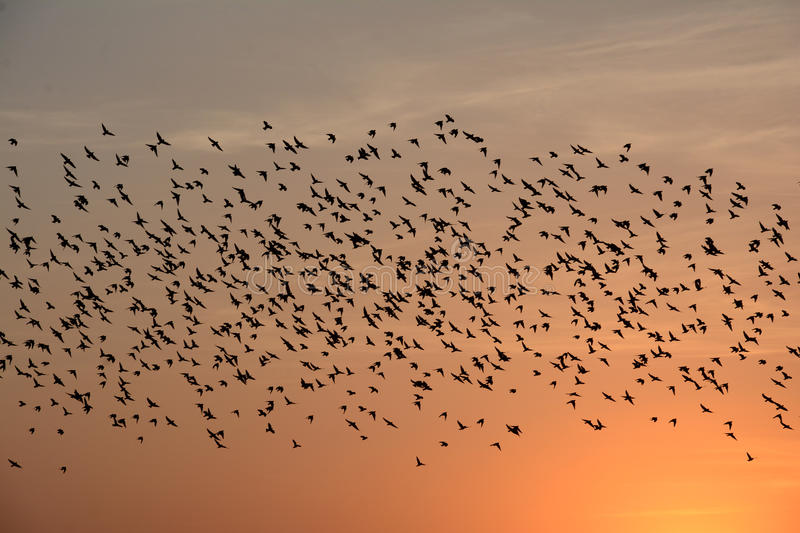FLOCKING BEHAVIOR IN BIRDS bikaner. FLOCKING BEHAVIOR IN BIRDS Flocking behavior is the behavior exhibited when a group of birds, called a flock, are foraging or royalty free stock photos