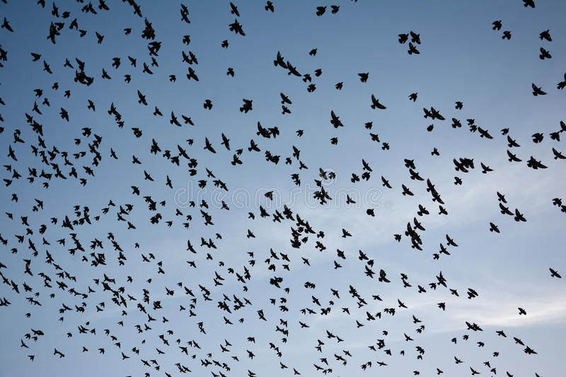 FLOCKING BEHAVIOR IN BIRDS BIKANER. FLOCKING BEHAVIOR IN BIRDS Flocking behavior is the behavior exhibited when a group of birds, called a flock, are foraging or royalty free stock images