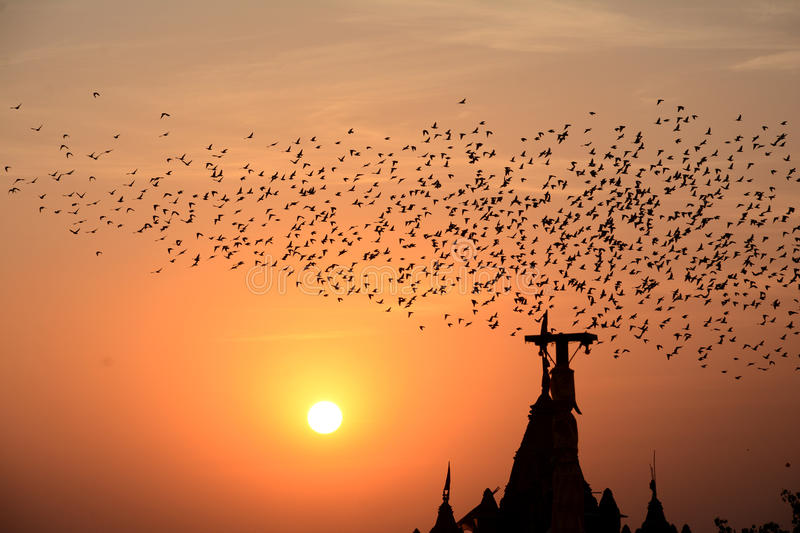 FLOCKING BEHAVIOR IN BIRDS Bikaner Rajasthan stock photos